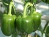 Groene paprika's